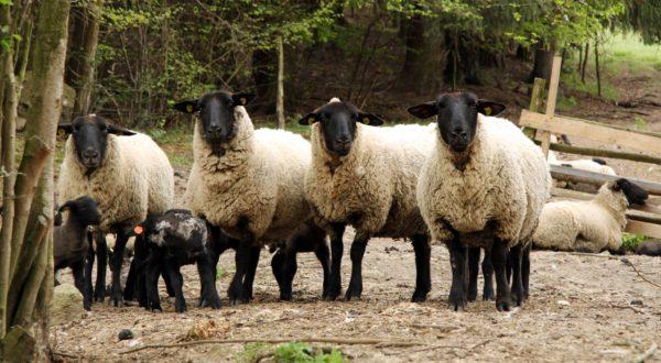 Chov ovcí Suffolk